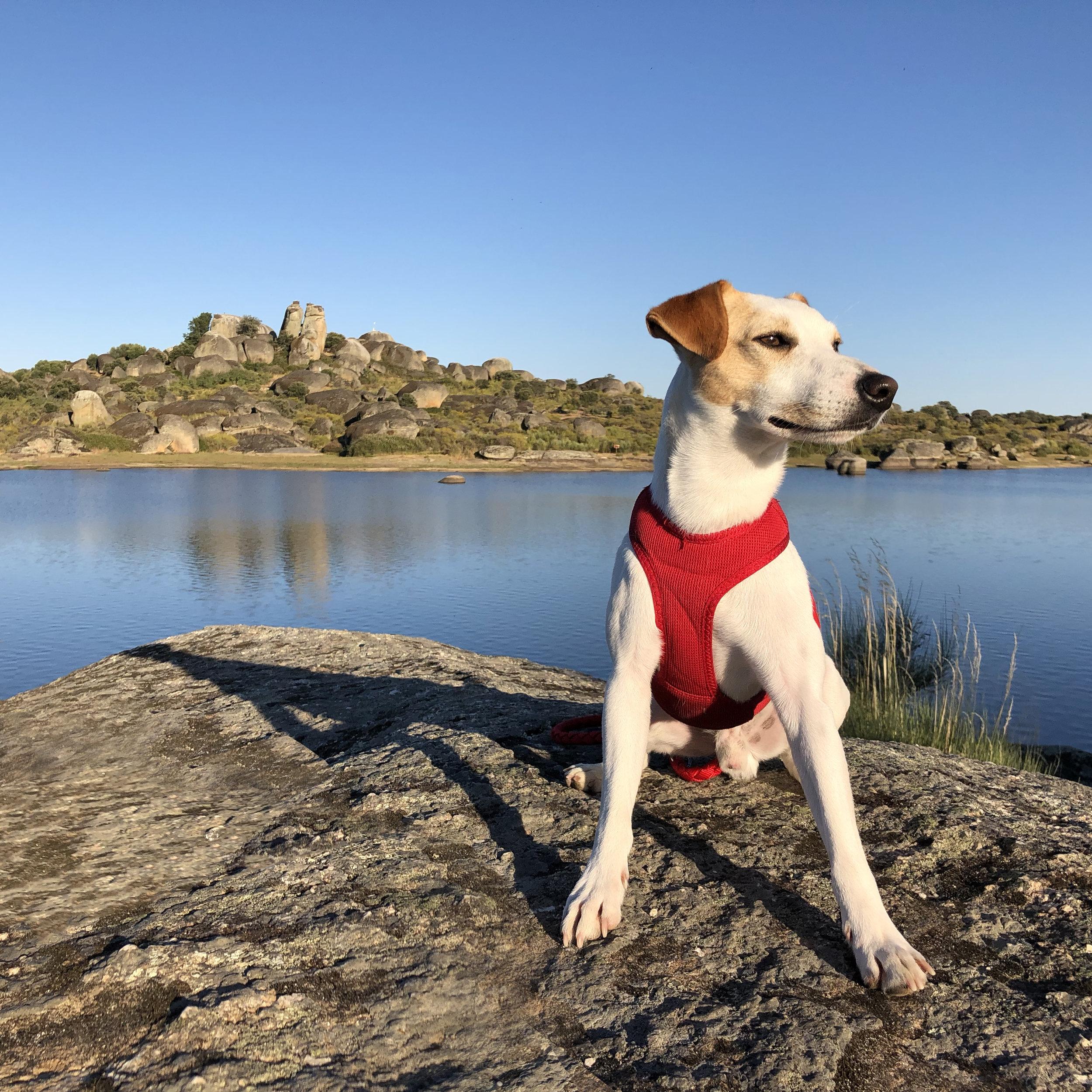 El perro viajero en Los Barruecos.