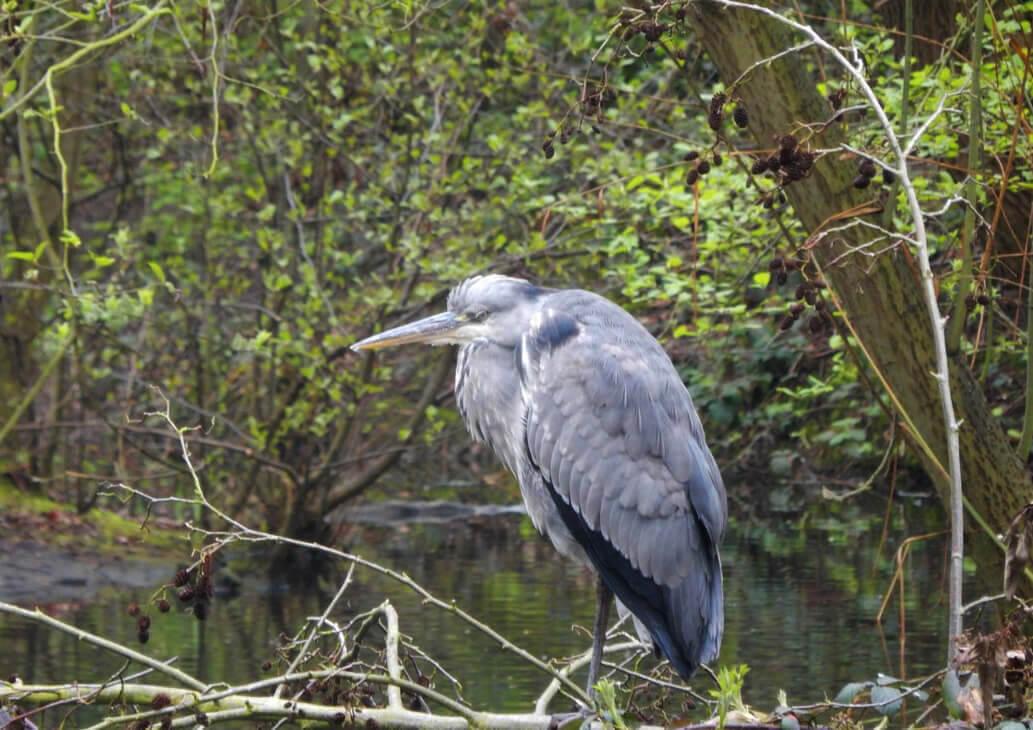 Heron Wandsworth Common