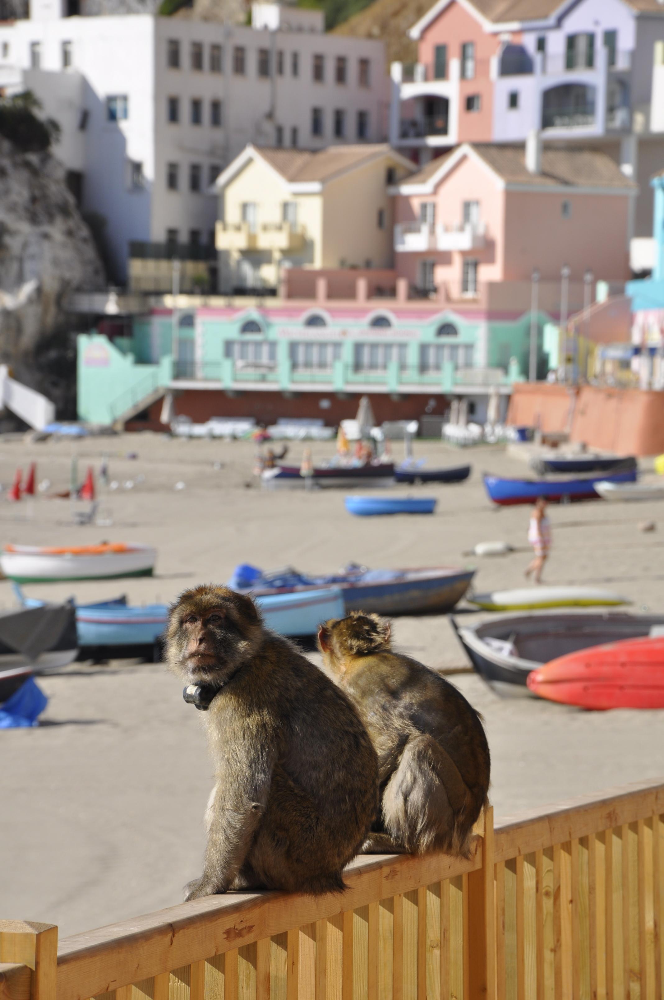 Monkey business at Catalan Bay