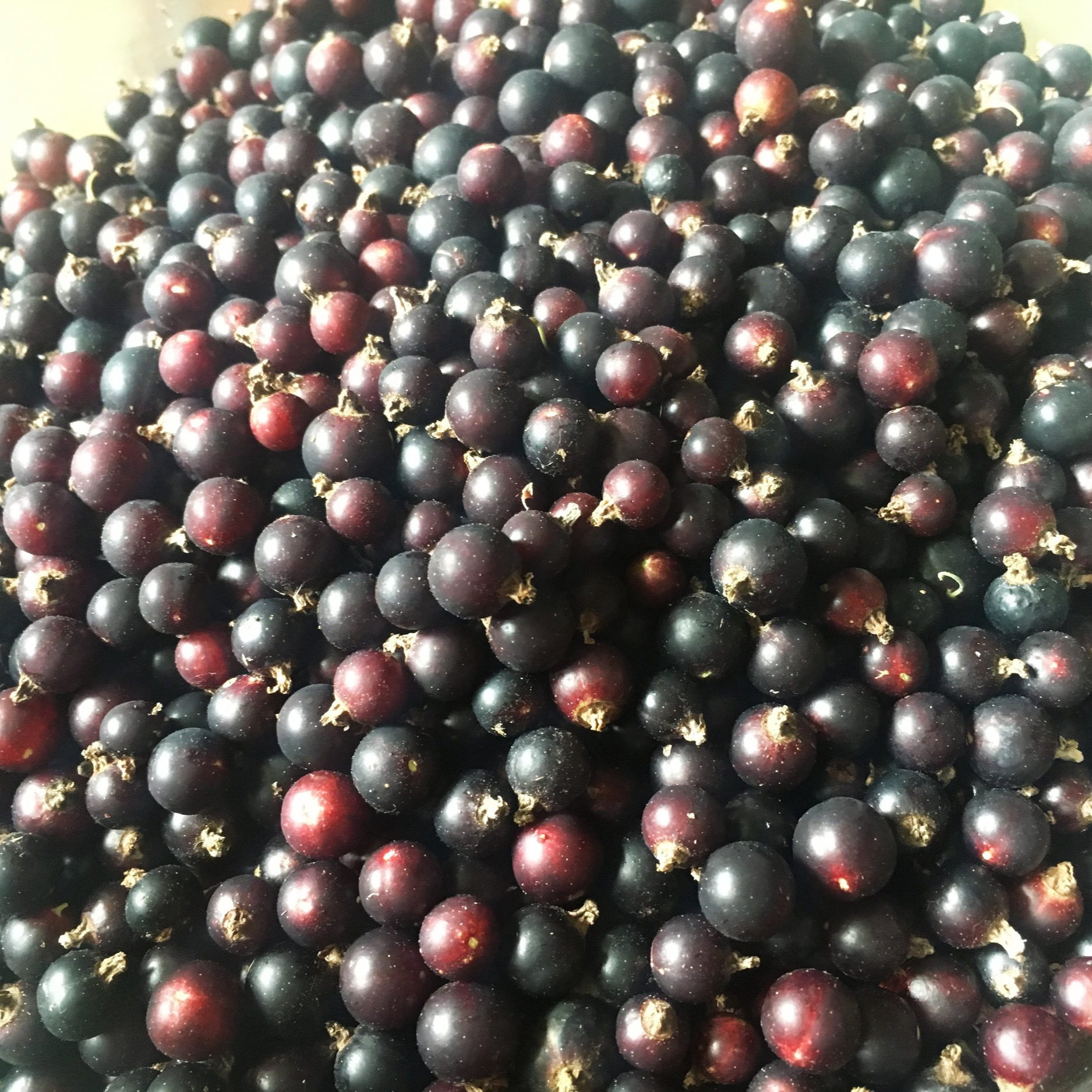 Harvested Black Currants