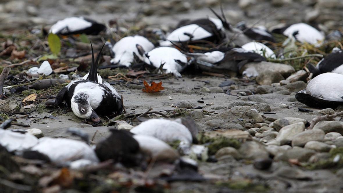 hi-dead-birds-852-ap1487677.jpg