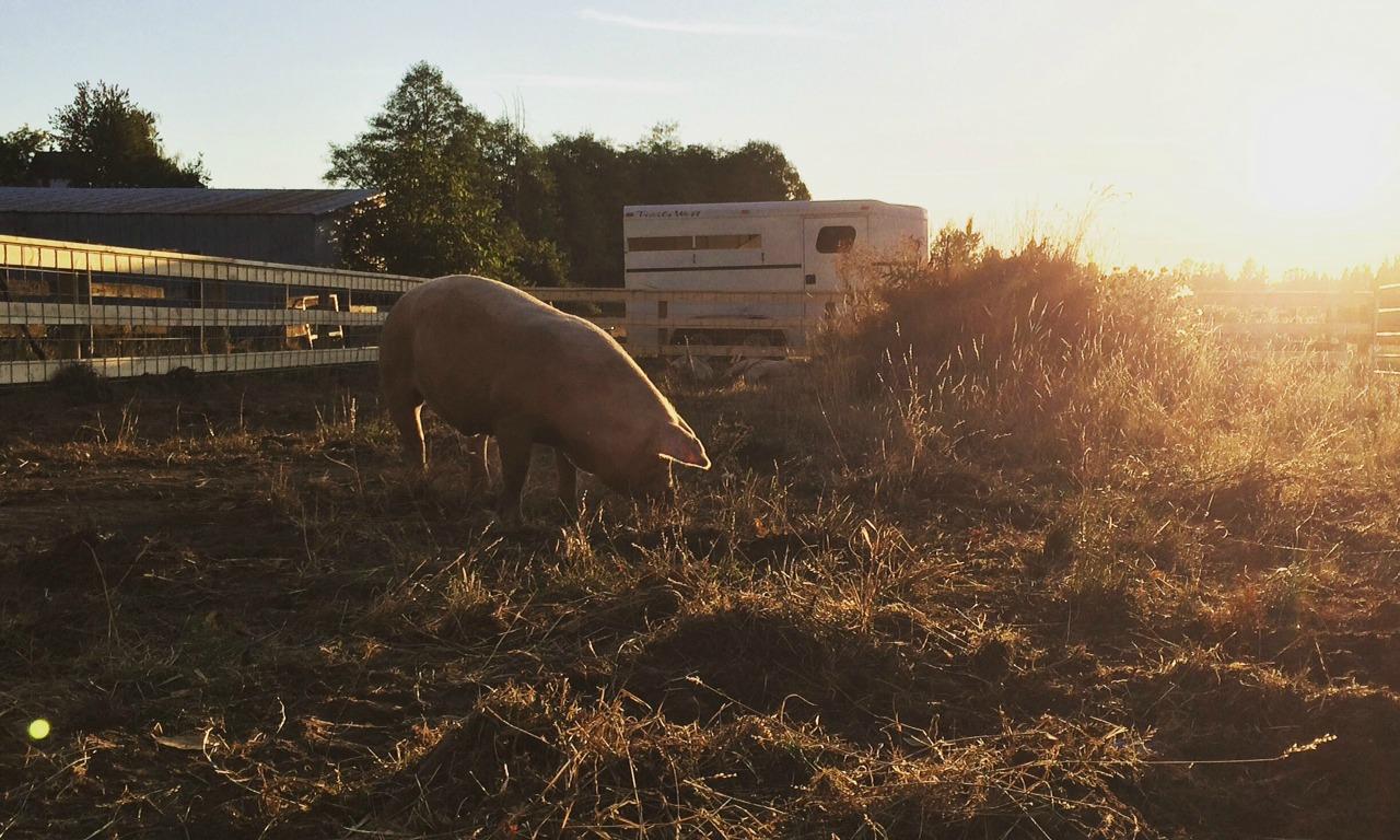 Langley Pork