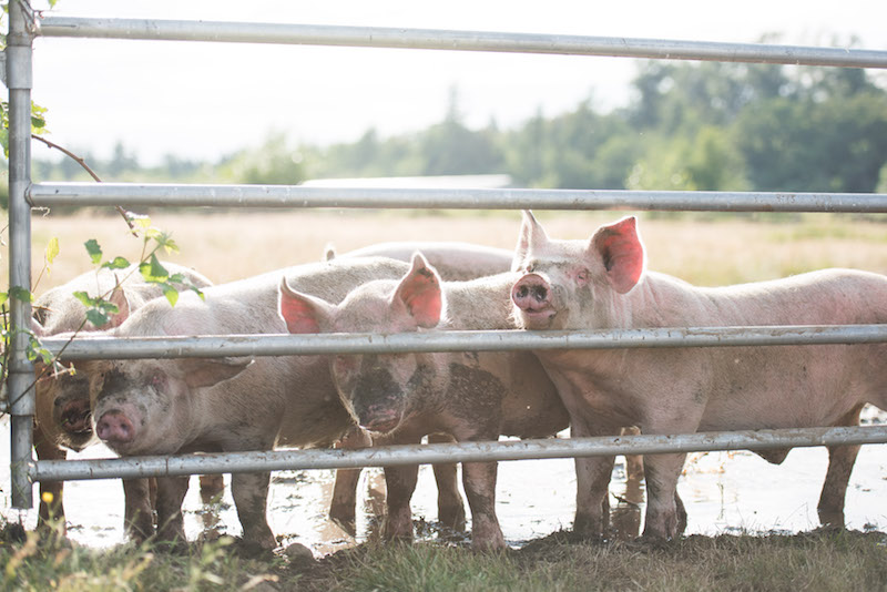 Free Range Pork Vancouver.jpg