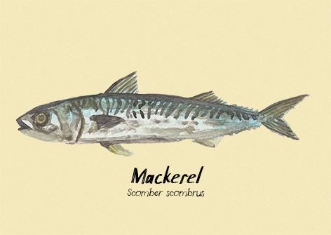 Mackerel postcard.jpg