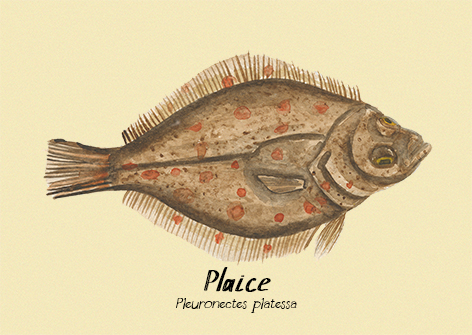 Plaice postcard.jpg