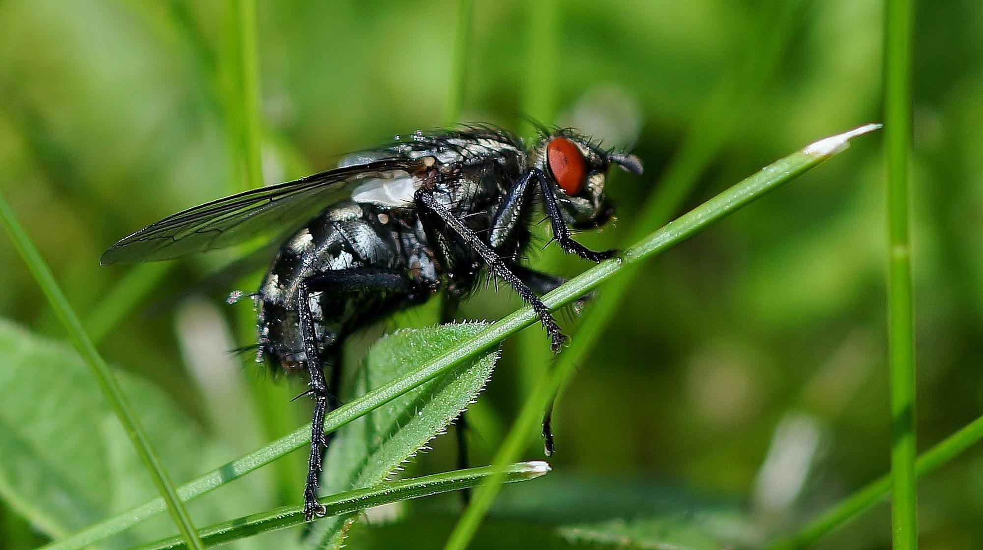 Fly Infestation Pest Control Coleshill.jpg