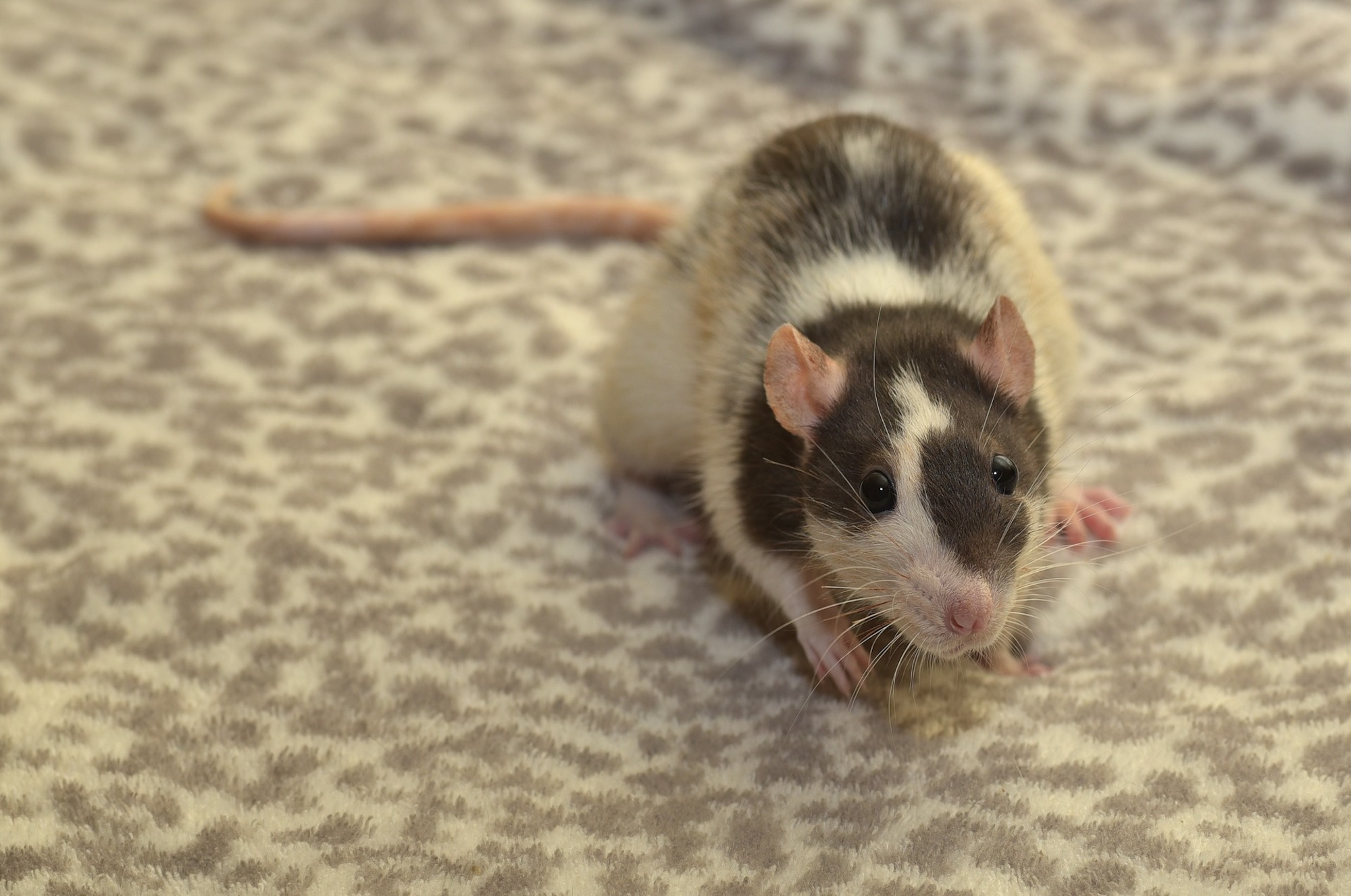 Rat Pest Control in Nuneaton.jpg