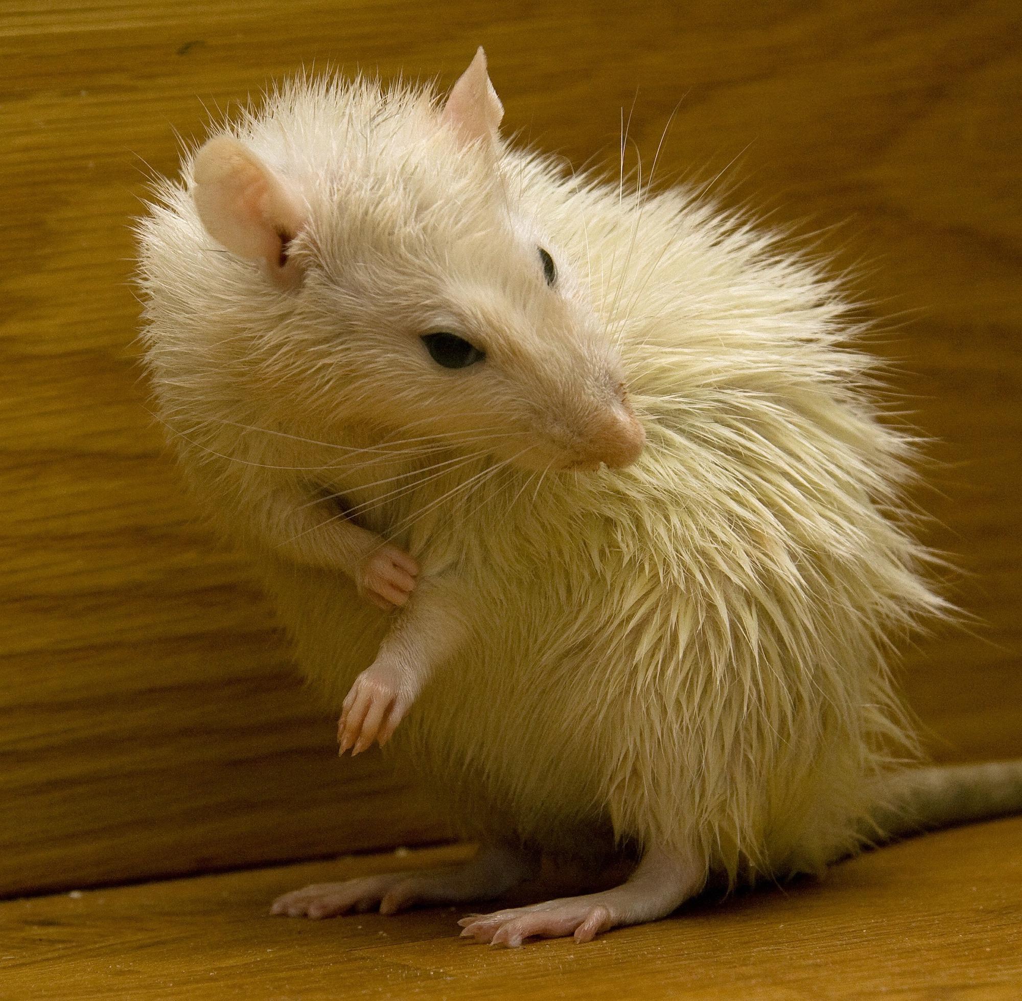 Rat Pest Control in Water Orton.jpg