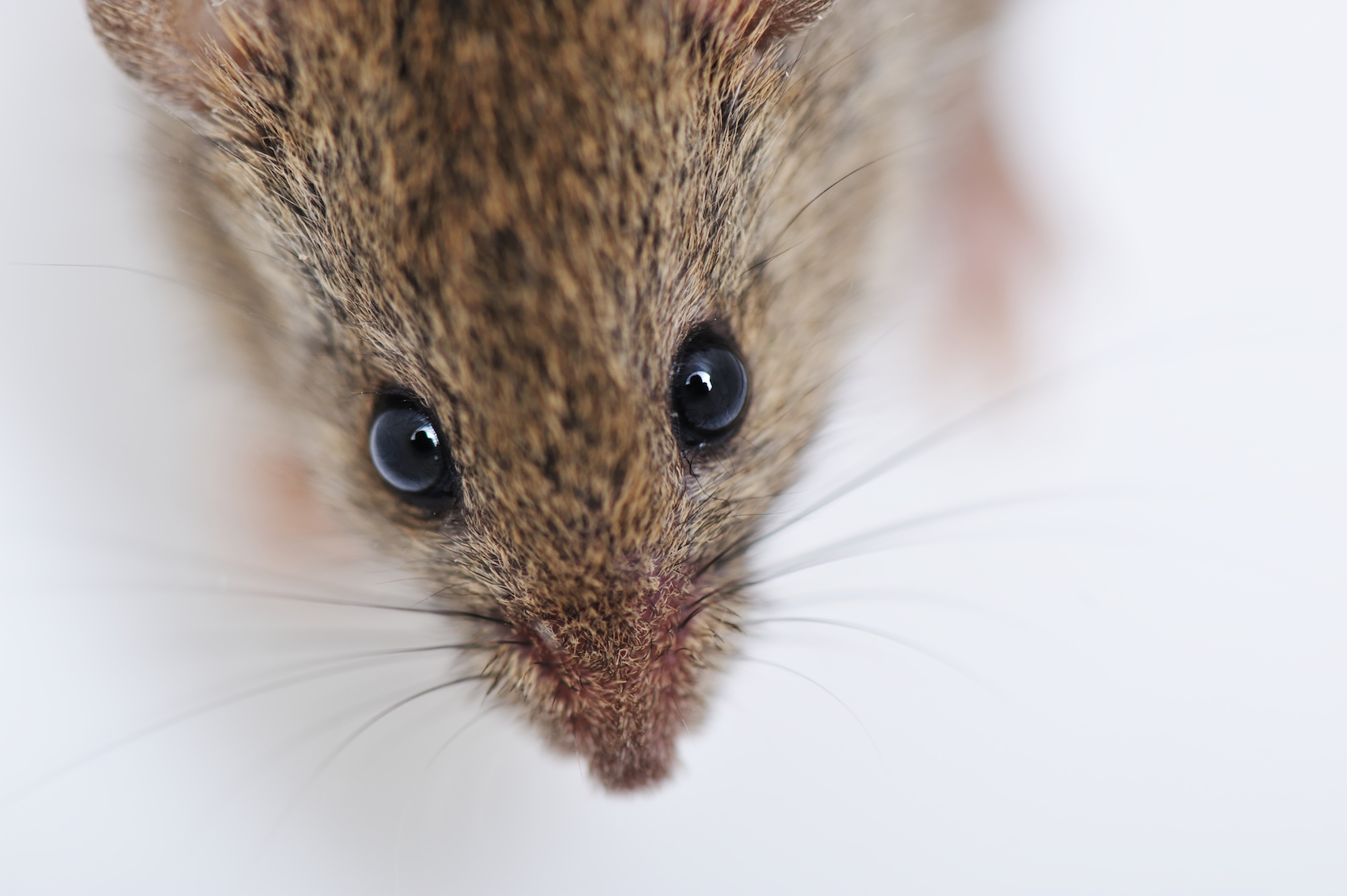 Mouse Pest Control Water Orton.jpg