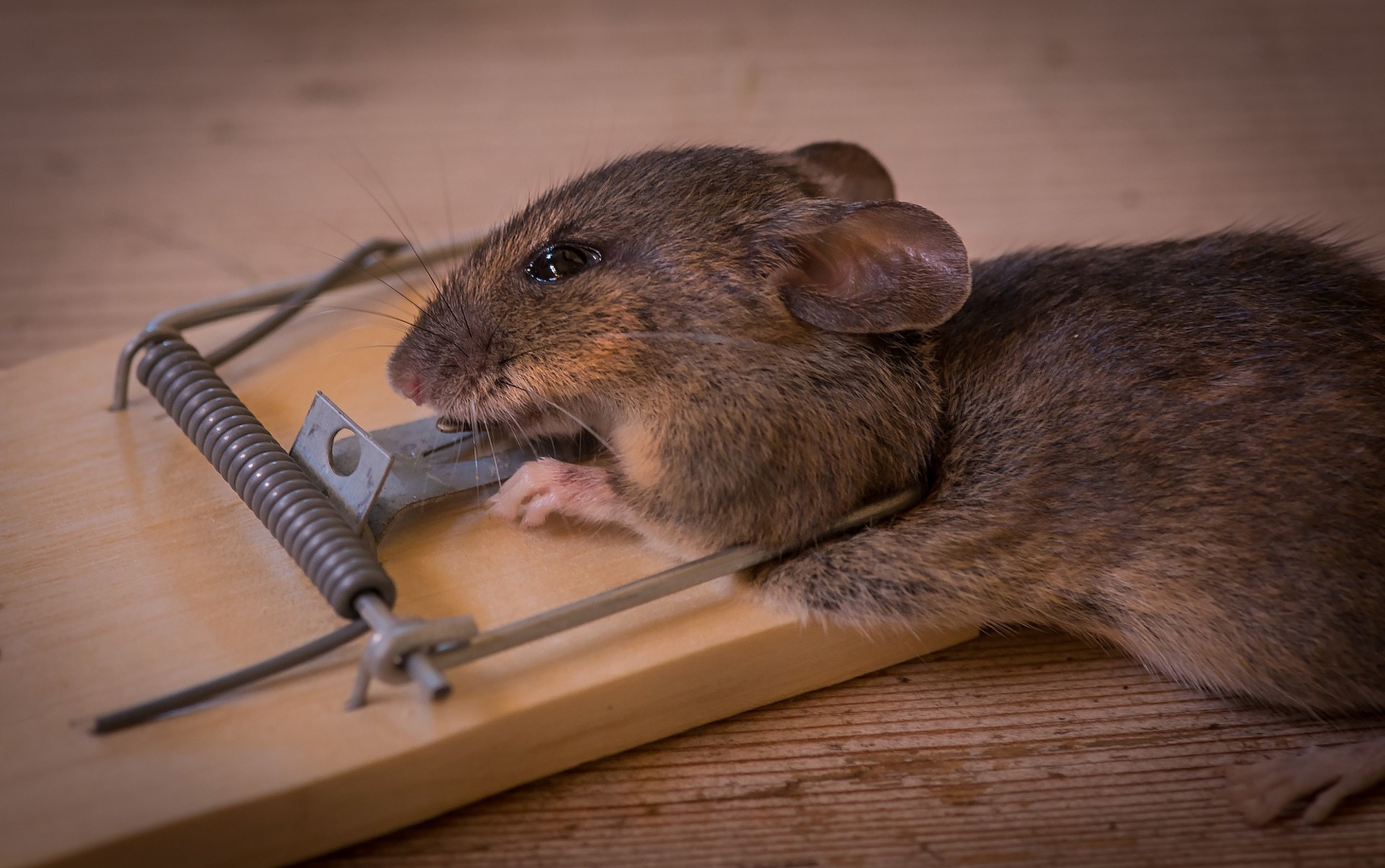 Mouse Pest Control Atherstone.jpg