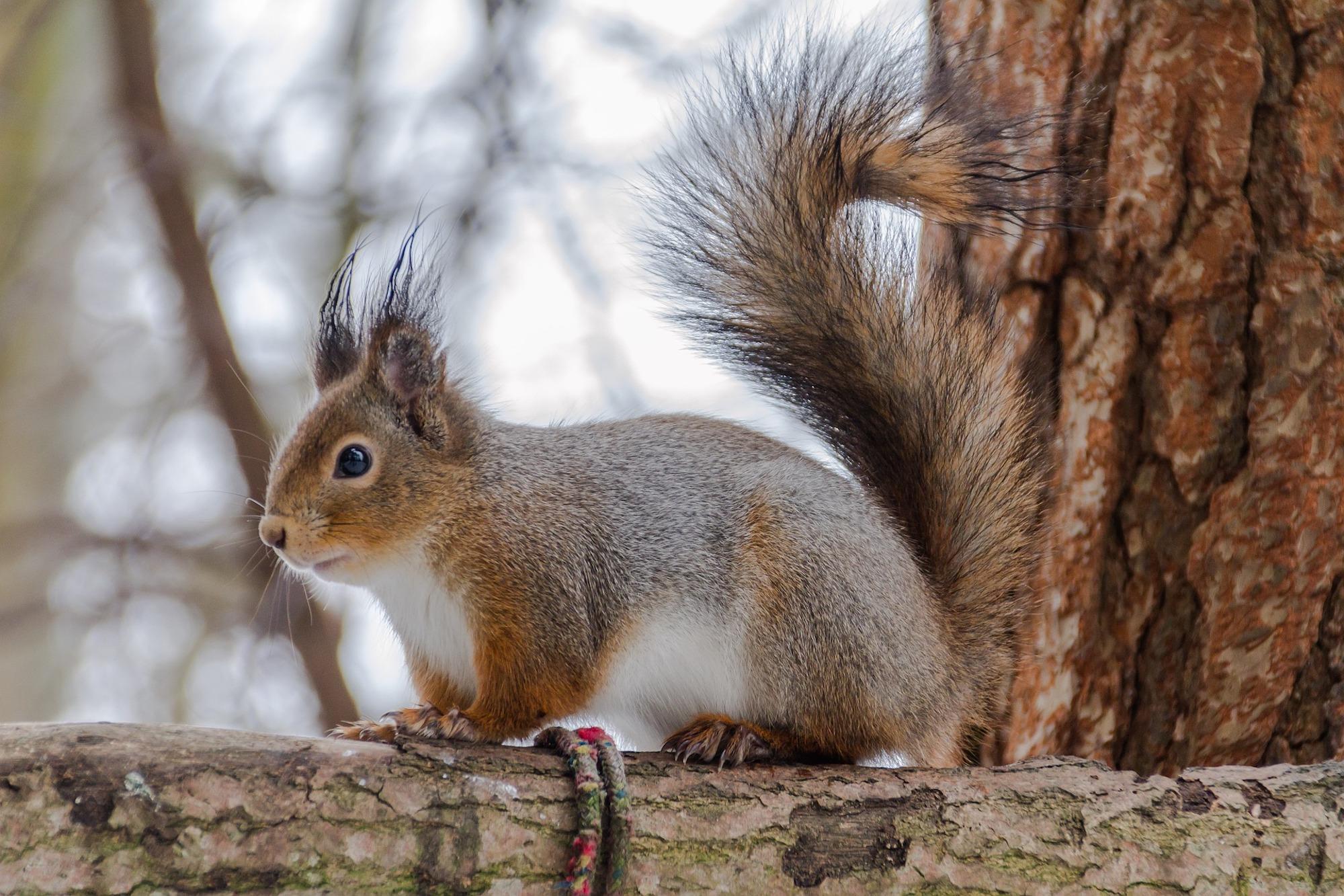 Squirrel Pest Control Nuneaton.jpg