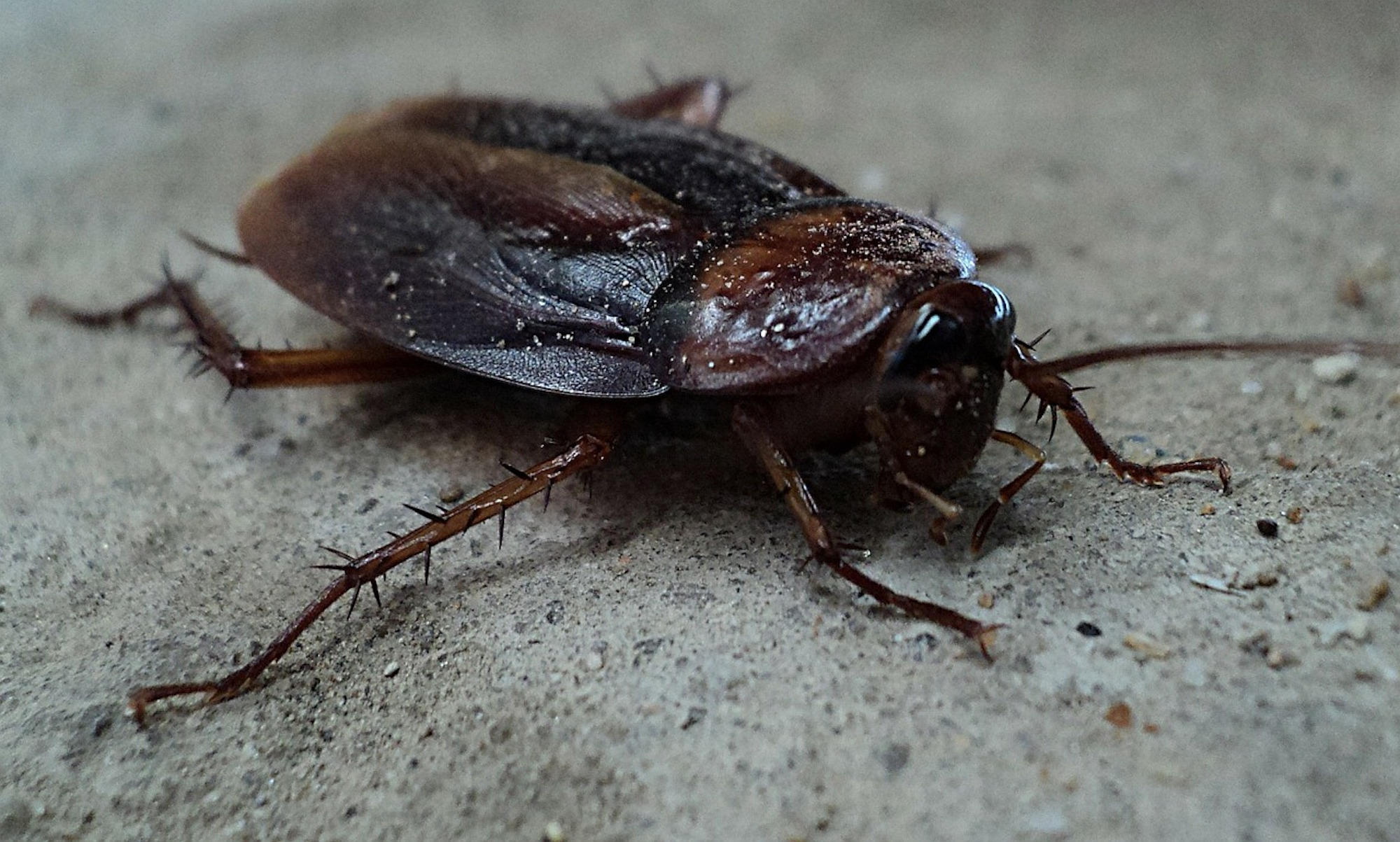 Cockroach Removal & Pest Control Services Coleshill.jpg