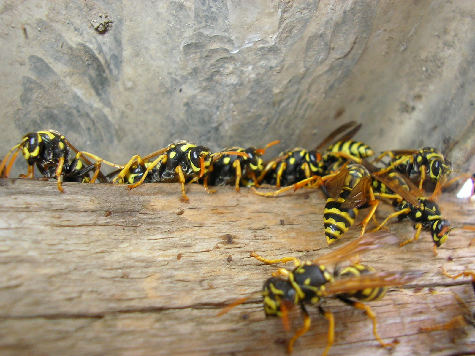 Wasp Pest Control Services Water Orton.jpg