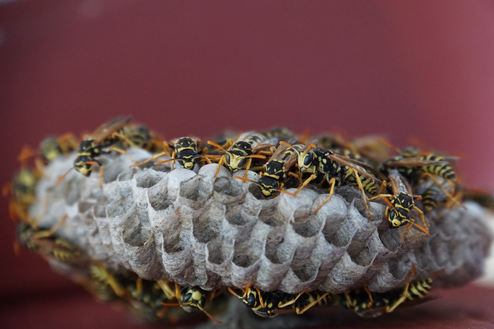 Wasp Pest Control Services Coleshill.jpg