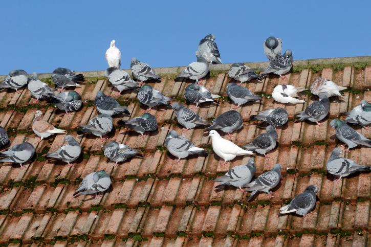 Pigeon Pest Control Services Coastle Bromwich.jpg
