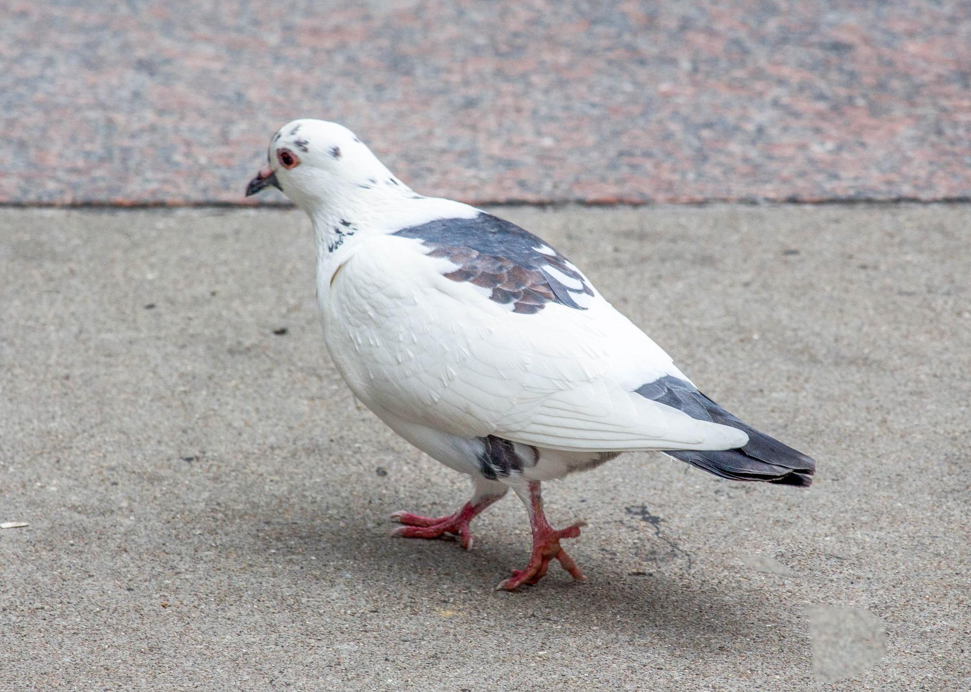 Pigeon Pest Control Services Warwickshire.jpg