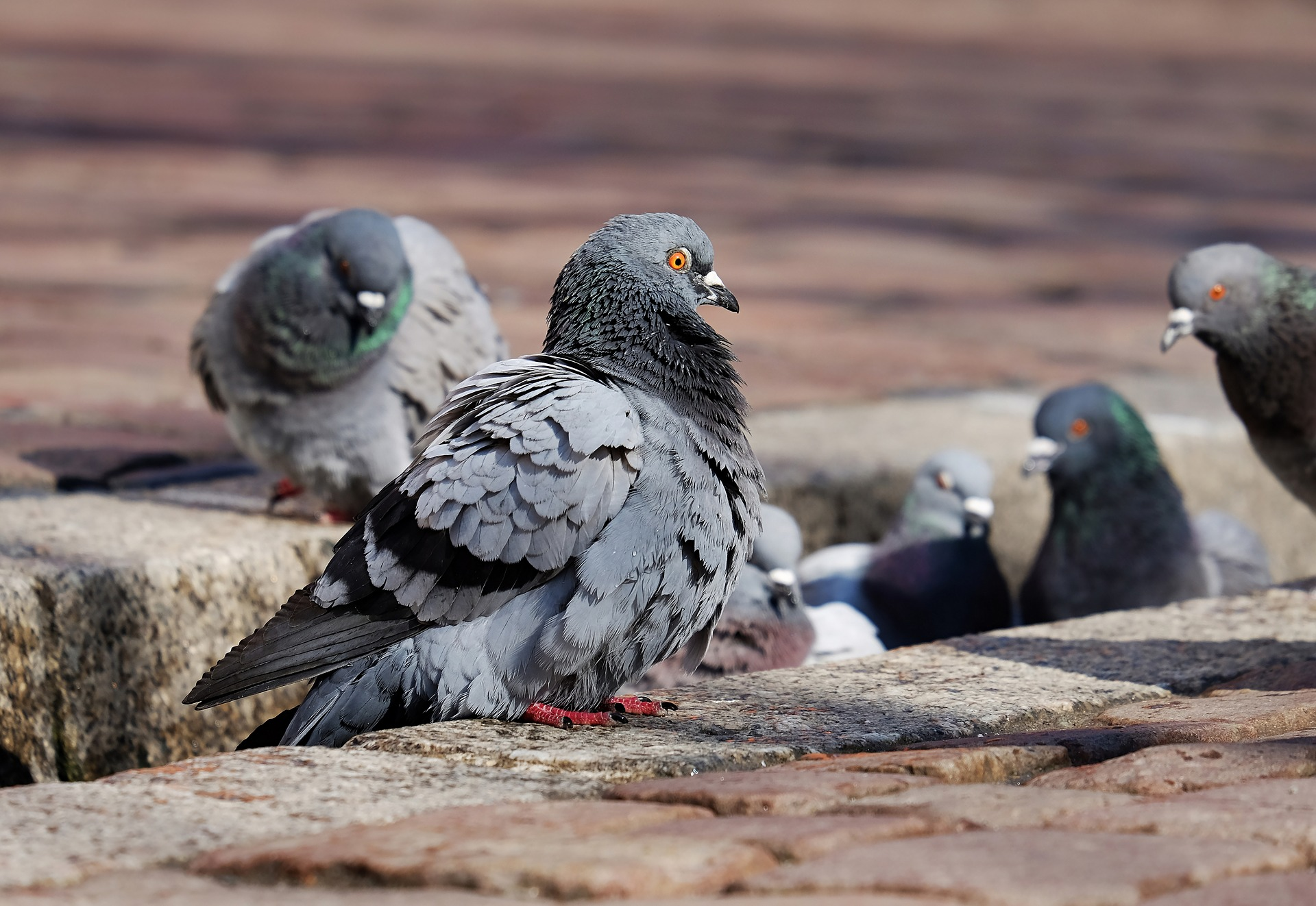 Pigeon Pest Control Services Water Orton.jpg