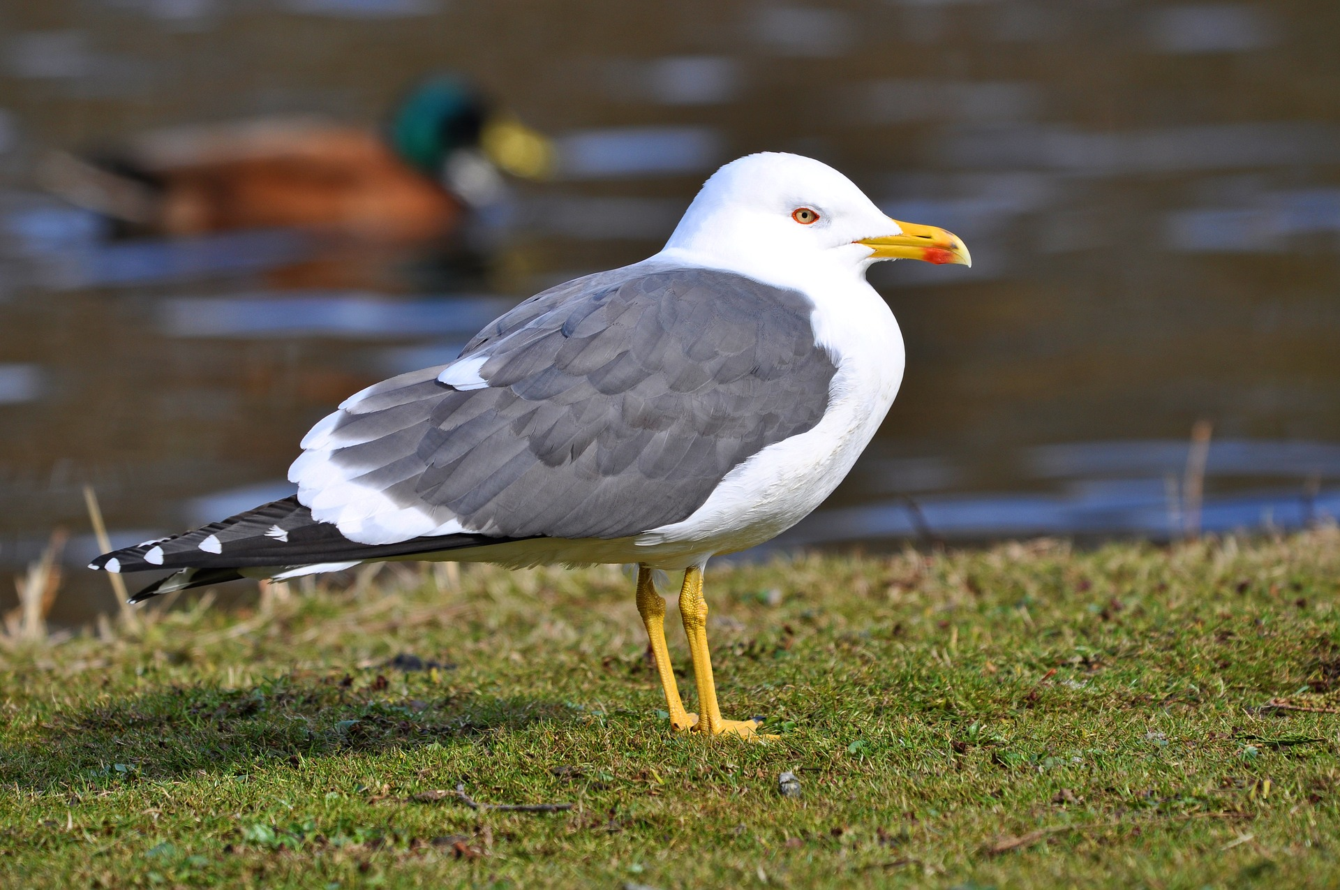 Seagull Pest Control Coleshill.jpg