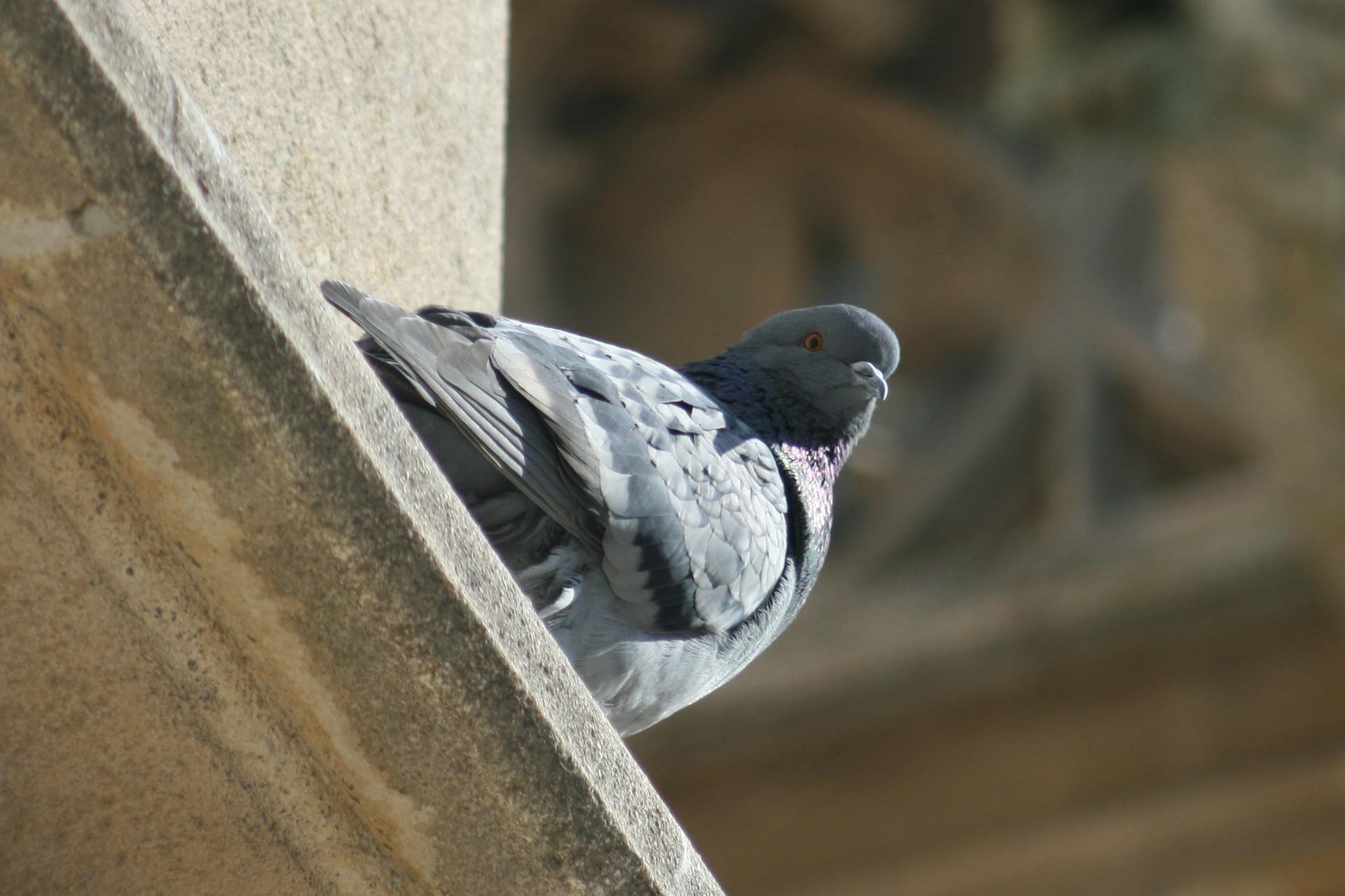 Pigeon Pest Control Services Coleshill.jpg