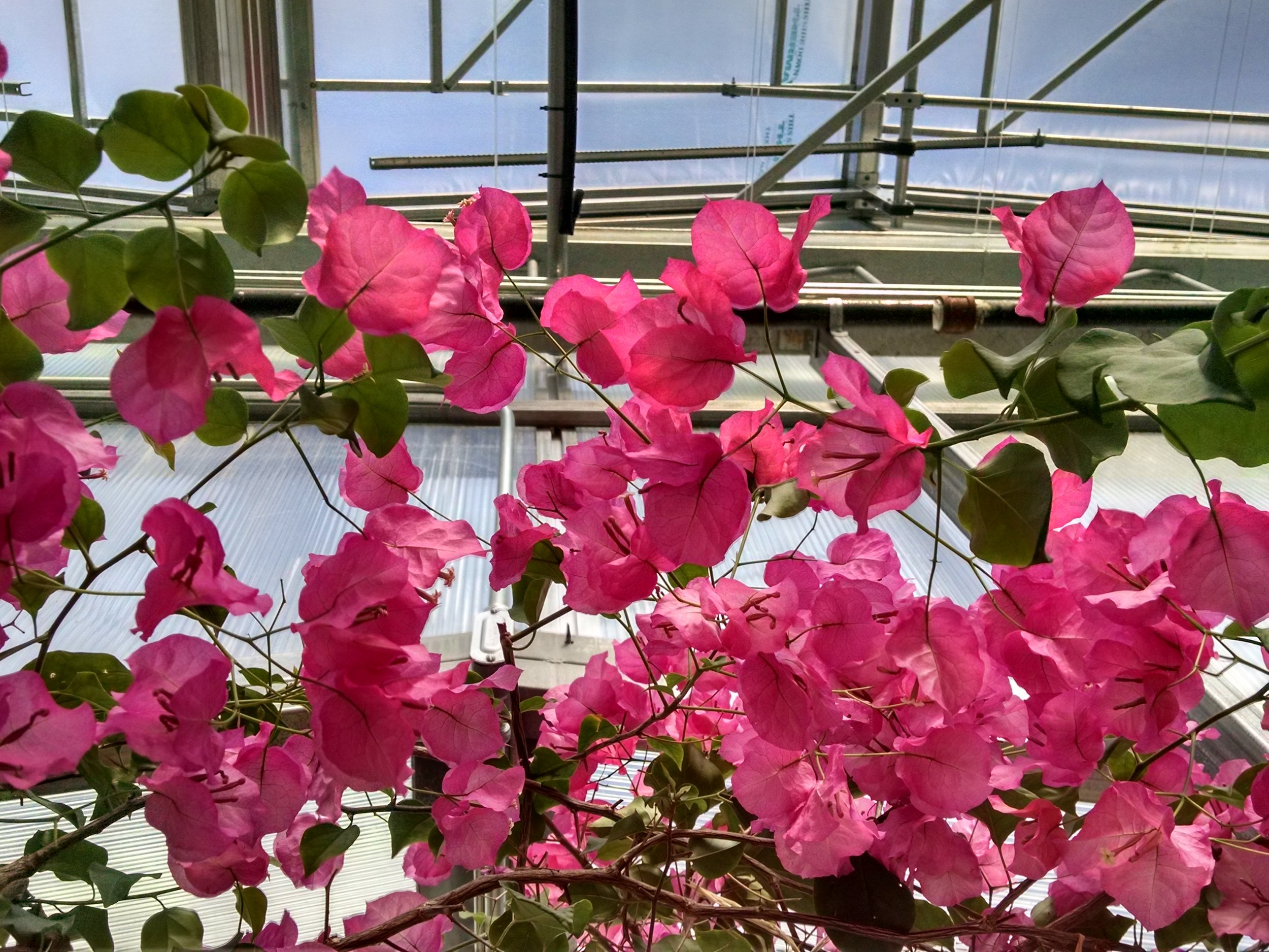 Our resident Bougainvillia 'Barbara Kurst'.