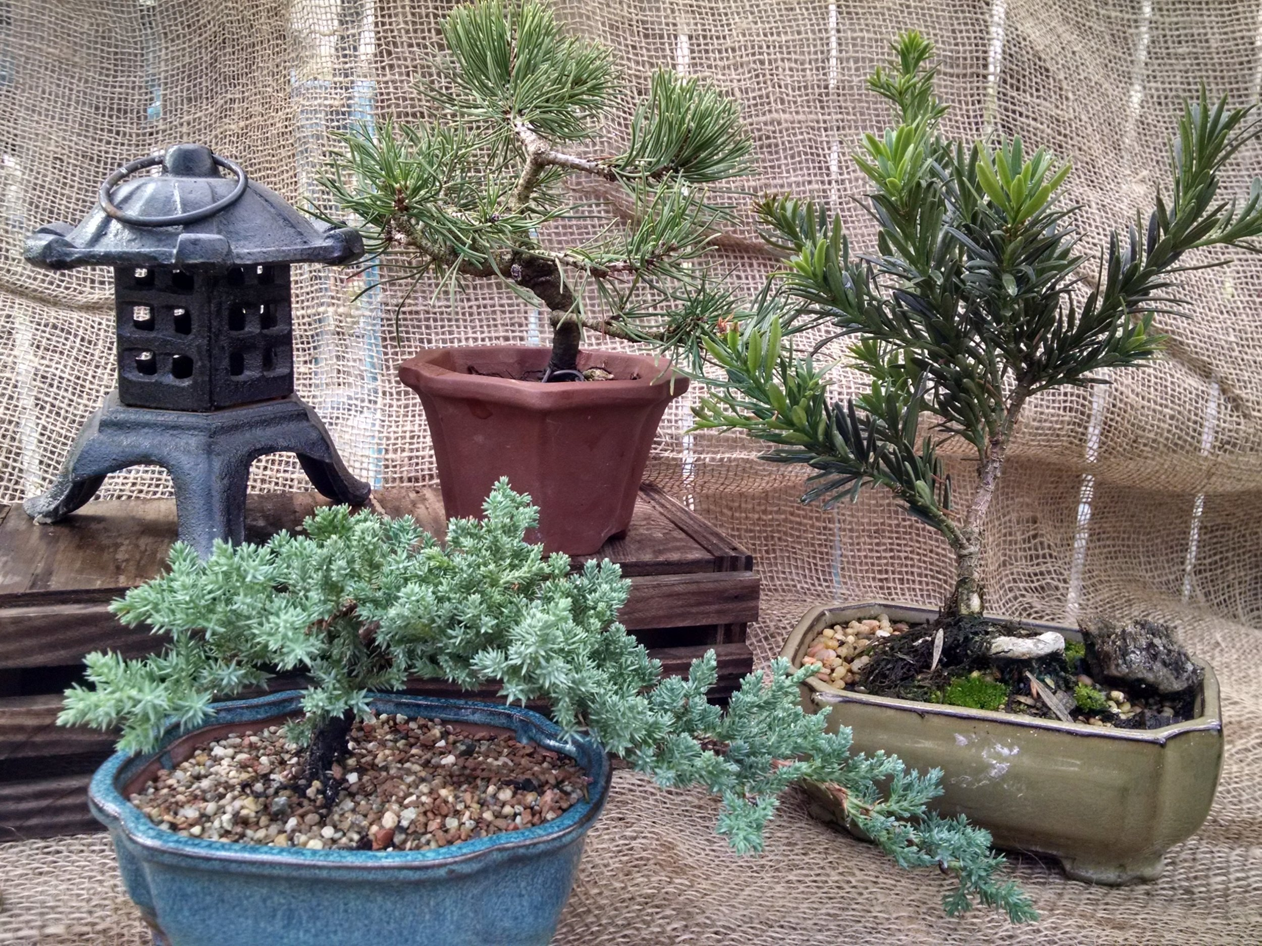 Bonsai are available in our greenhouse.