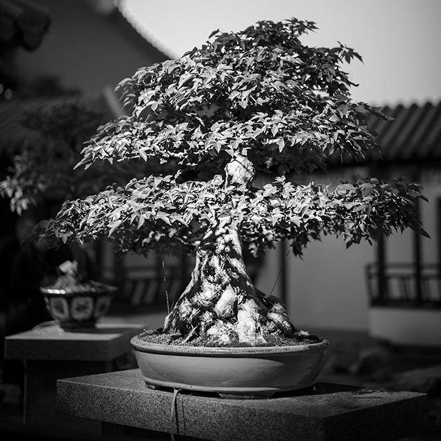 Baby trees, Mr. Miyagi. • • • • • #bonsai #bw #blackandwhitephotography #bnw_society #bnw_captures #bnw_life #bw_lover #blackandwhitephoto #bnw_planet #monoart #blackandwhiteuniverse #bw_photooftheday #noir #instablackandwhite #summilux #monochromatic #insta_bw #bnwmood #bwstyles_gf #noiretblanc #leicamonochrom #monotone #rsa_bnw #BlackandWhite #leica #leicacamera #leicacraft #leicam  #mmonochrom #monochrome @blackandwhiteuniverse @leicacamera @leicacamerausa @leicahub @leicauk @leica_camera_italia @leicaimages @leicastoreboston —— 📸 Photo & Travel: shinyphotos.com ❤️ Instagram: shinyphotos 🐥 Twitter: @shinyphotos 🎥 YouTube: Shiny Photos
