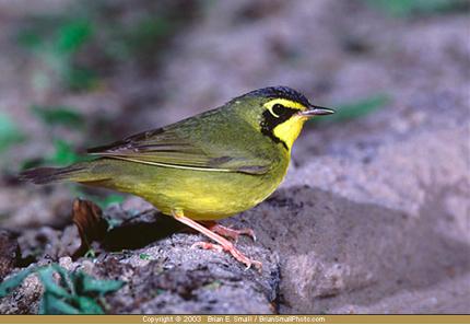 Maya bird