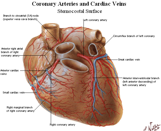 coronary blood vessels.png