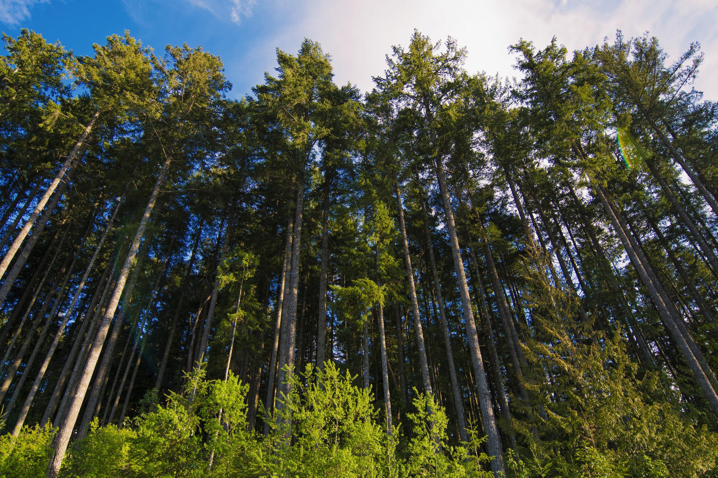 skinnytrees.jpg