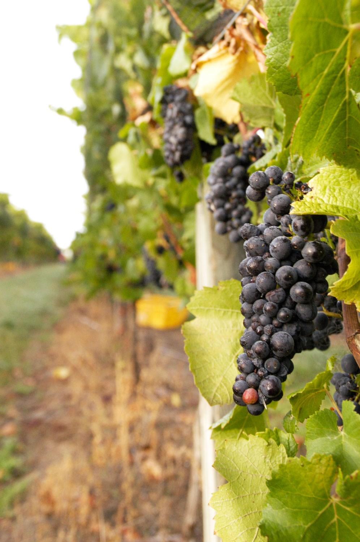 vineyard-e.jpg