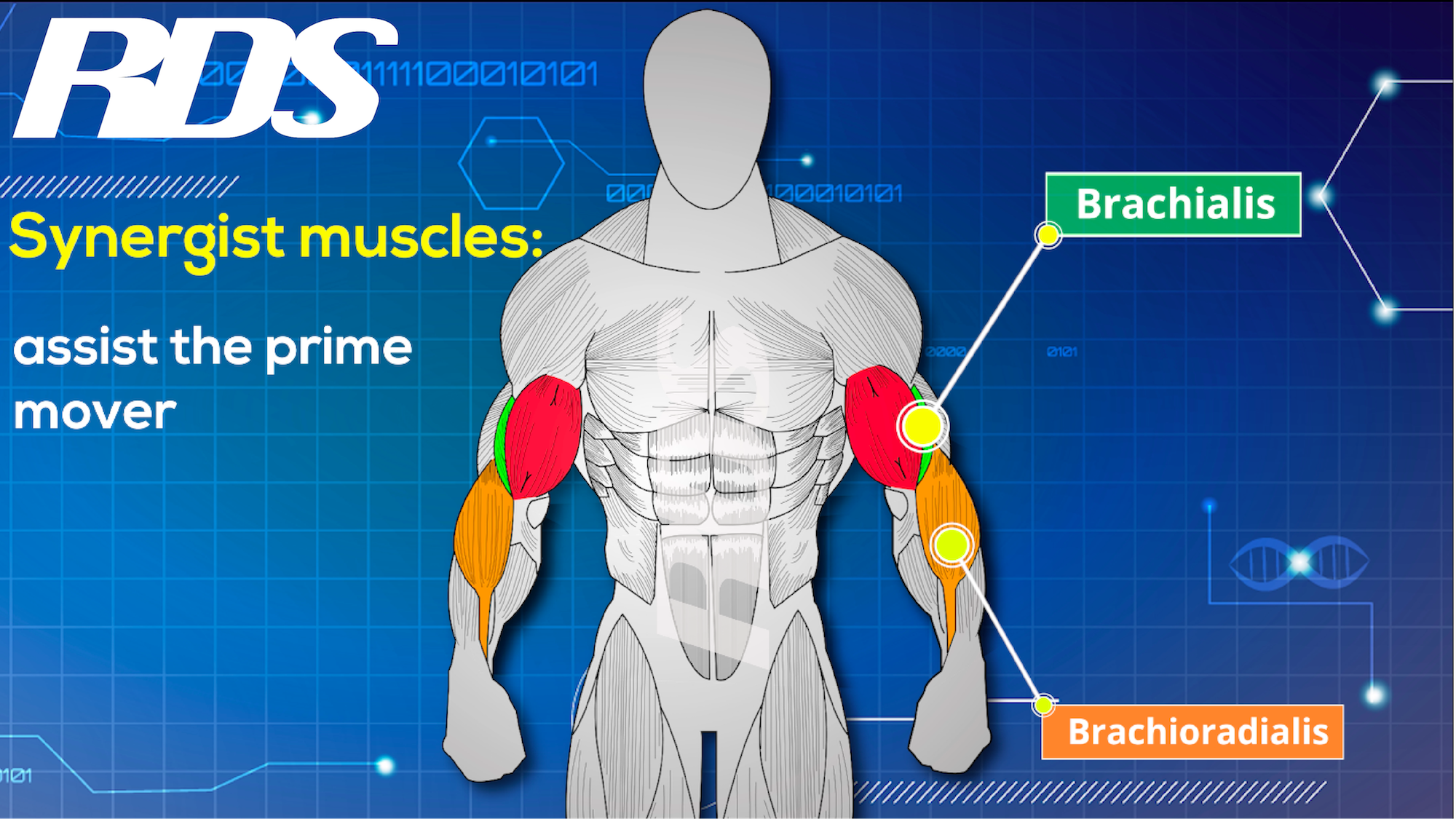 synergist muscles-01.png