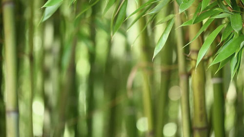 Image of Bamboo.jpg