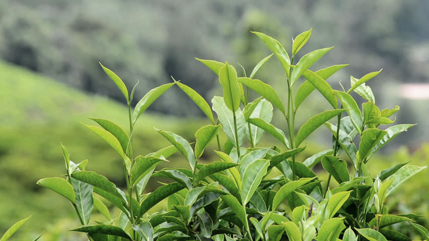 Image of Tea Plant.jpg