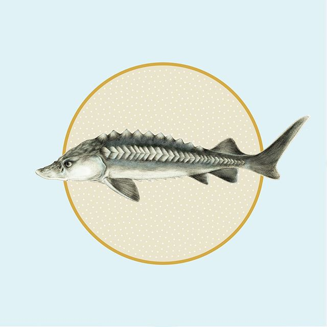 Work in progress for one of my fave clients-- caviar labels featuring an elegant sturgeon illustrated by @shawnerussell. ⠀ . . . . . . . . . . #illustration #womenofillustration #womendesigners #packaging #design #packagingdesign #caviar #caviartins #pdxdesigners #packaginginspiration #identitydesign #designinspiration #eyeondesign #designingwomen⠀