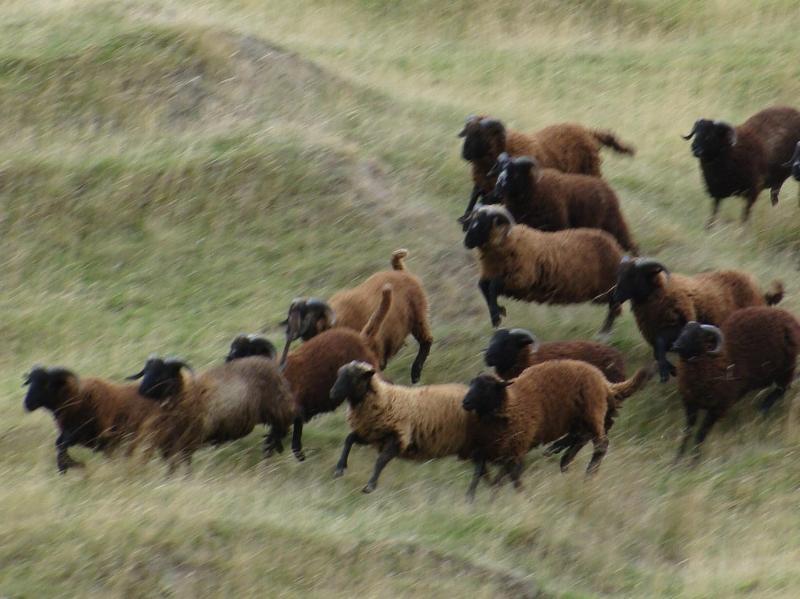 Pitt Island wild sheep are New Zealand's toughest wild sheep