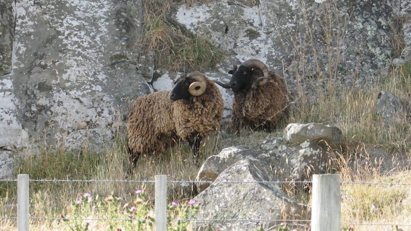 Pitt Island wild sheep are left mainly to their own devices on Banks Peninsula (Tim Cronshaw)