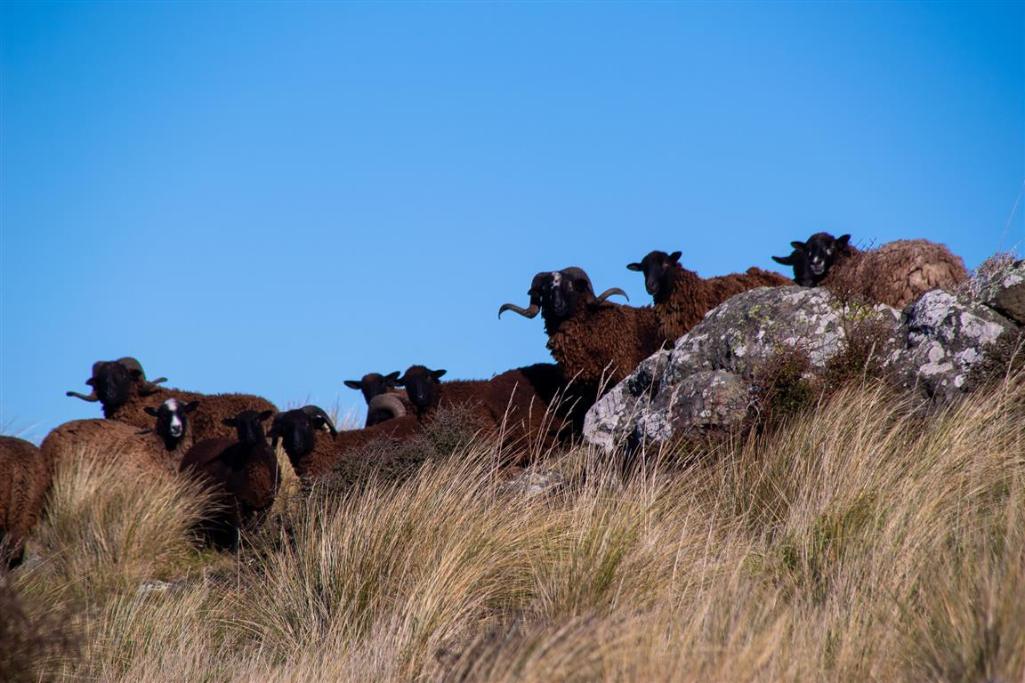 Pihepe rams are notoriously difficult to muster and yard. A typical muster would gather at best 80 per cent of the sheep