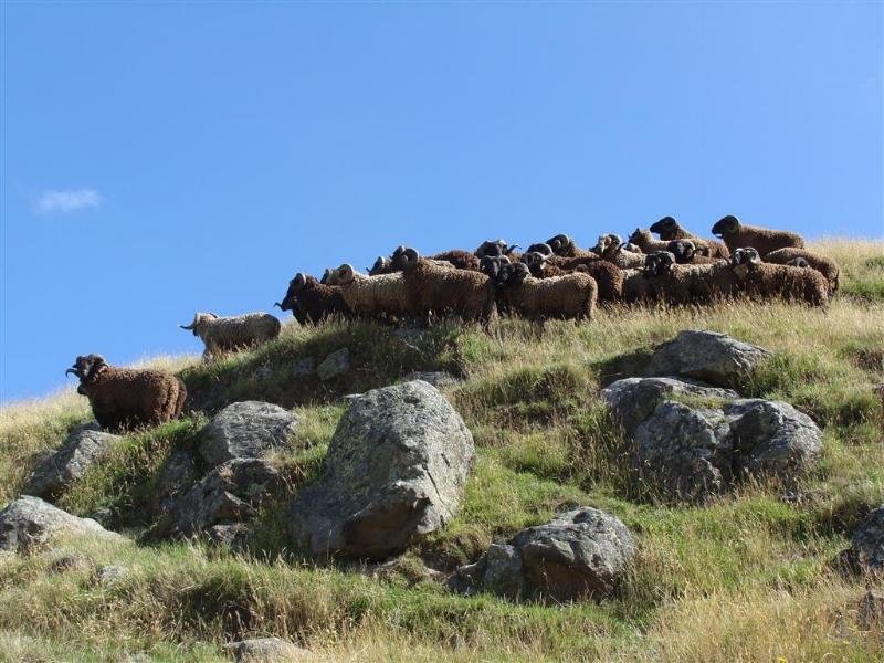 Pitt Island wild sheep on Roger Beattie's Banks Peninsula property. Photo - Roger Beattie