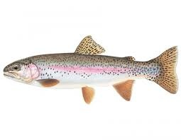 Rainbow Trout/Steelhead