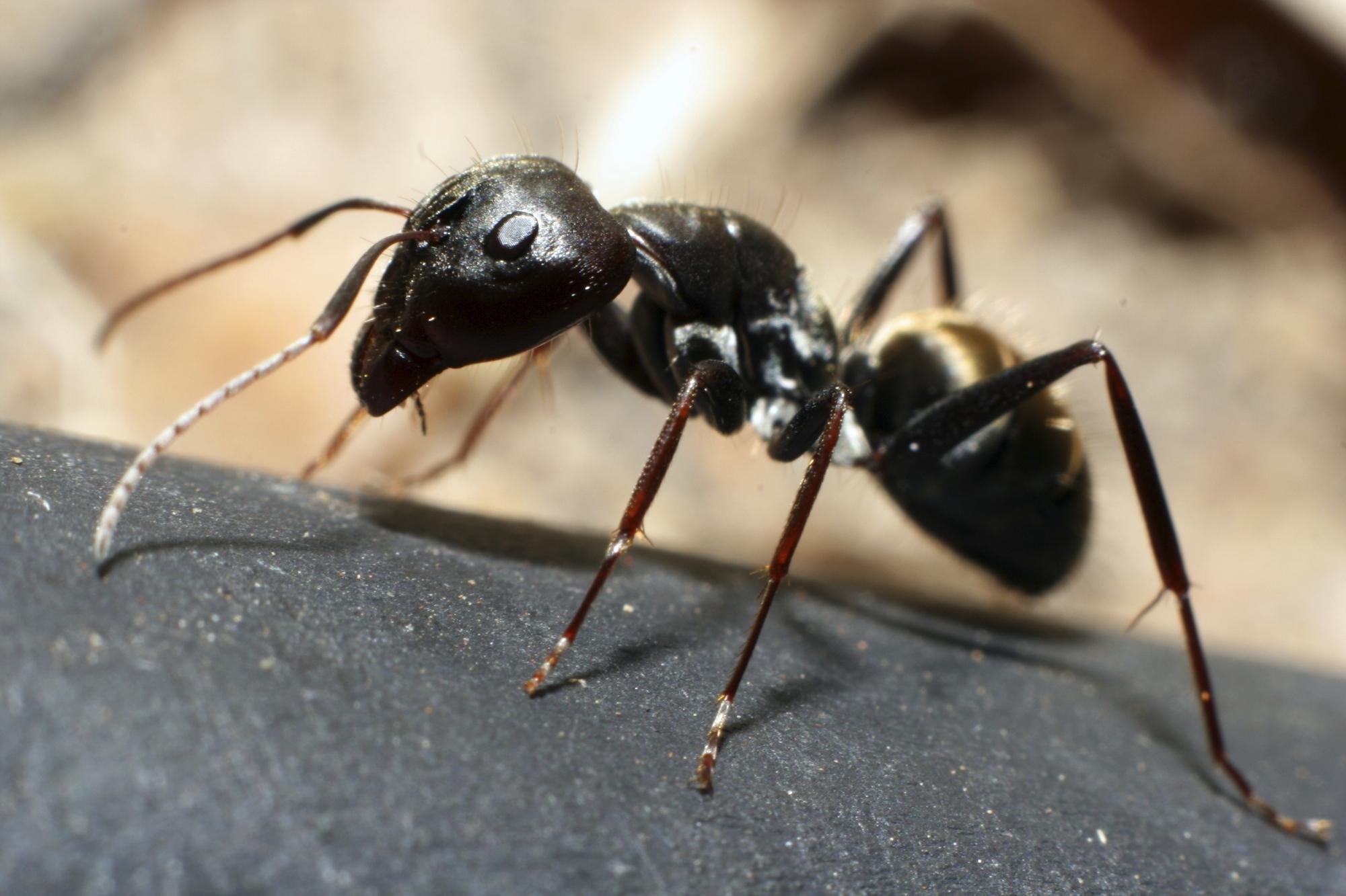 Pavement-ant.jpg