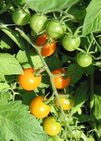 Sungold-Cherry-Tomatoes.jpg