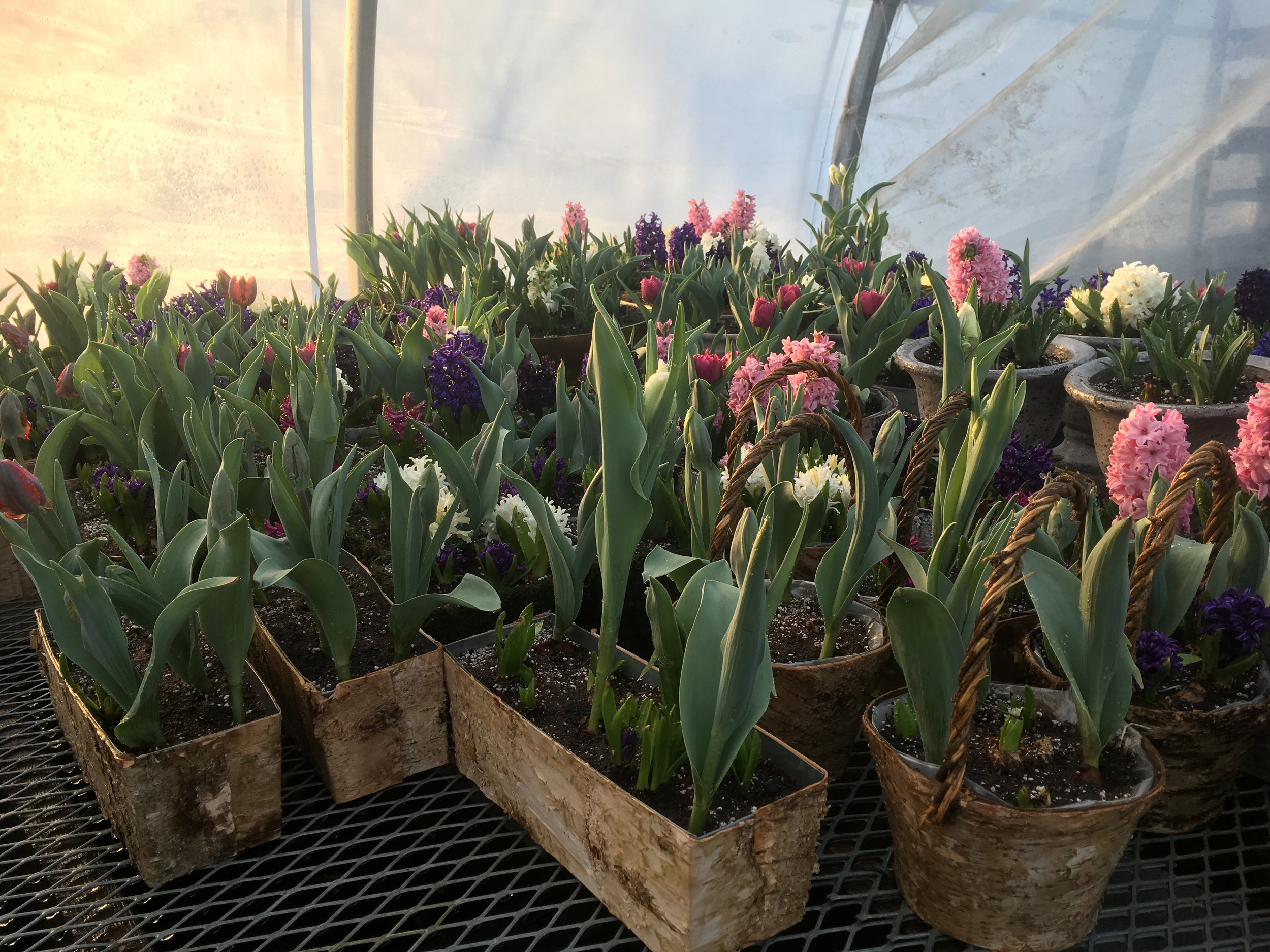 Come See Us! - ..if you are in the area this weekend, we will be at the Berkshire Grown Winter Market, stop by and say 'Hi!' We have been growing these incredibly fragrant and colorful potted bulbs (tulips, hyacinth, snowdrops, amaryllis!) in the sweetest birch containers, to brighten these drab days! Pick one up for yourself and all your friends, they are the perfect dose of cheer, sure to put a smile in your heart!:)