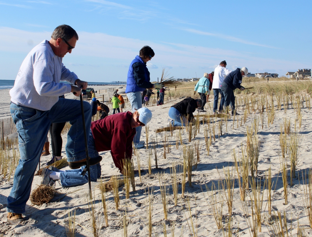 Dune-Grass-Planting-in-Avalon