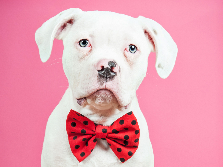 Paola-Paladini-Studio-American-Bulldog-Puppy-with-bowtie