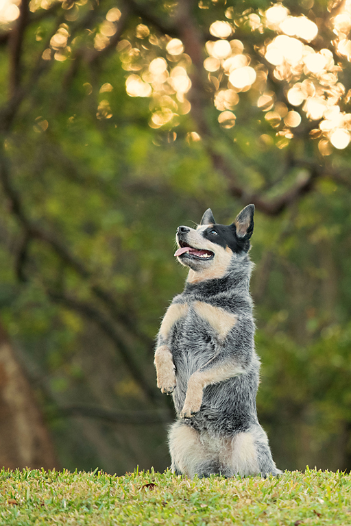 Paola-Paladini-On-Location-australian-cattle-dog-sitting-pretty