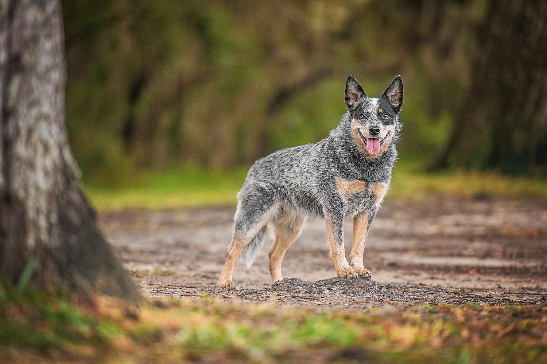 Paola-Paladini-On-Location-Australian-cattle-dog-smiling