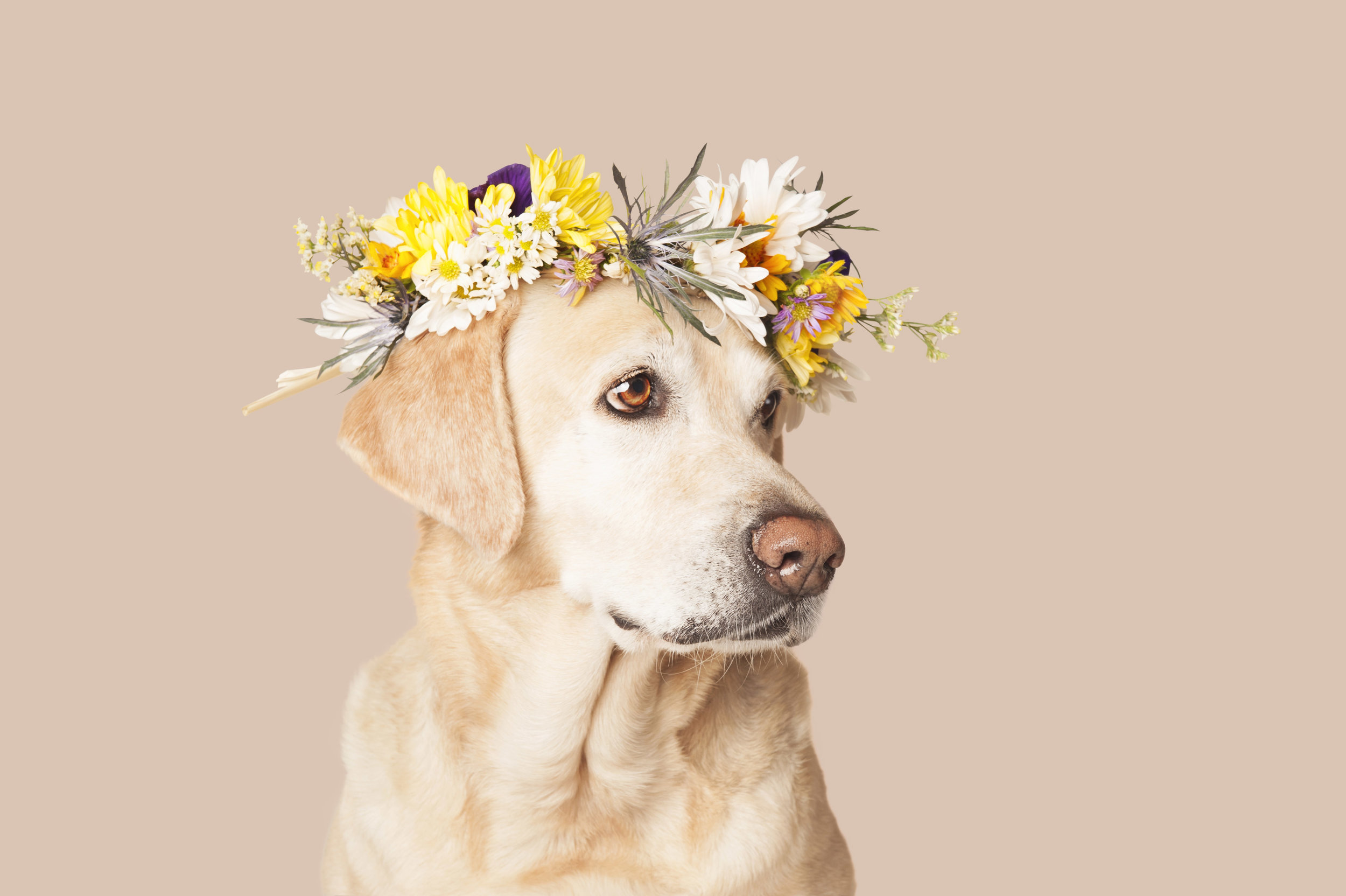 Paola-Paladini-Studio-Sunny-labrador-rescue-with-flower-crown