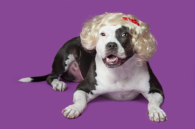 dog-and-wig-black-white-pitbull-Wig-gles-.jpg