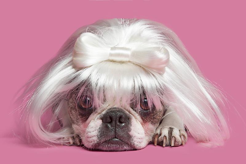 dog-wig-boston-terrier-wig-gles.jpg