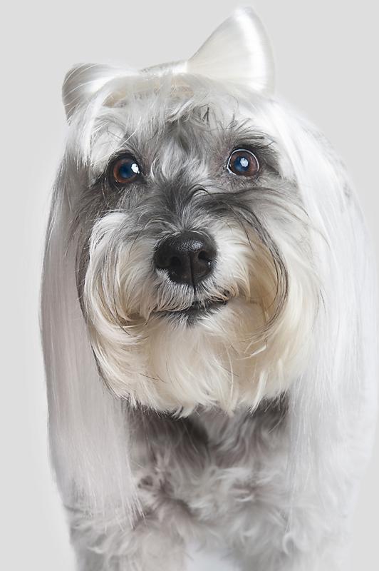 Wig-gles-dog-and-wig-schnauzer.jpg